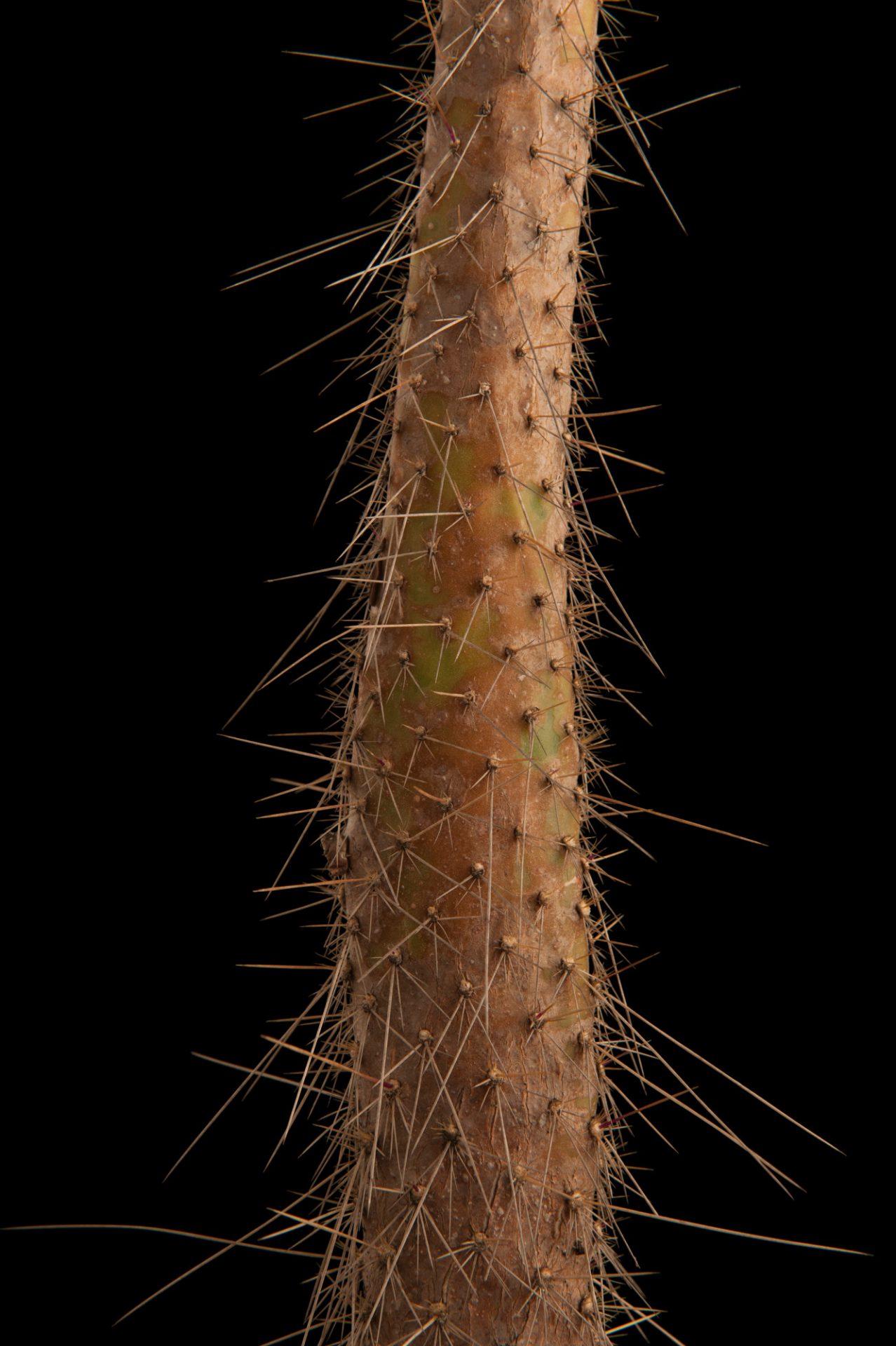 Photo: A semaphore cactus, Opuntia leucotricha, a federally-endangered plant species.