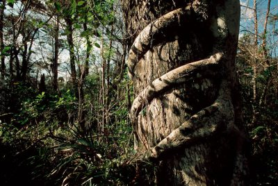 Photo: A strangler fig chokes a mature tree in a Florida marsh.
