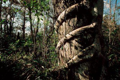 Photo: A strangler fig chokes a mature tree in a Florida marsh.