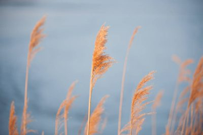 Photo: Phragmites grass (Phragmites australis) an invasive species of grass now found along the Platte River.