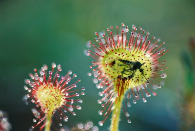 Photo: A mosquito is trapped in the sticky, diminuitive, and carnivorous sundew plant in Clayoquot Sound, British Columbia, Canada.