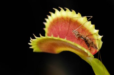 Photo: Venus flytraps as they consume insects.