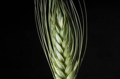 Photo: Grains of wheat (Triticum aestivum).