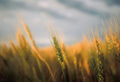 Photo: Wheat sways in the wind in a field in Kansas.