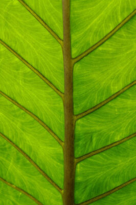 Photo: Close up of the leaf of a Alocatia portadora plant.