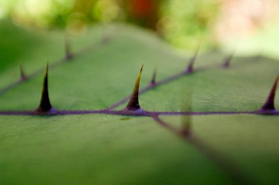 Photo: Bed of nails leaves with thorns coming out.