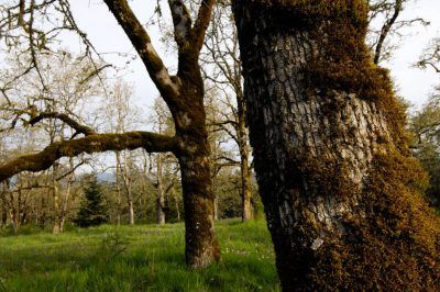 Photo: The Cowichan Garry Oak Preserve, an extremely rare type of forest in Canada.