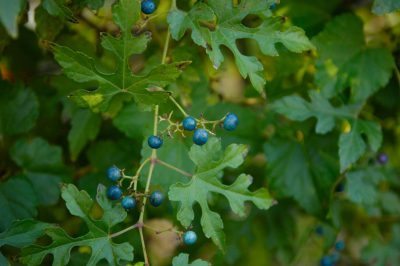 Photo: Porcelain berries on a tree in Lincoln, NE.