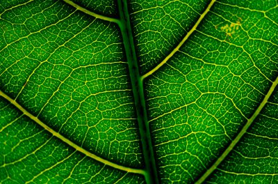 Photo: A leaf of the critically endangered alectryon macrococcus plant.