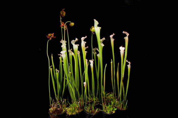 Photo: The white top pitcher plant (Sarracenia leucophylla), a more common species of carnivorous plant, at the Atlanta Botanical Garden.