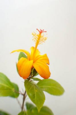 Hibiscus kokio var  saintjohnianus images - Joel Sartore