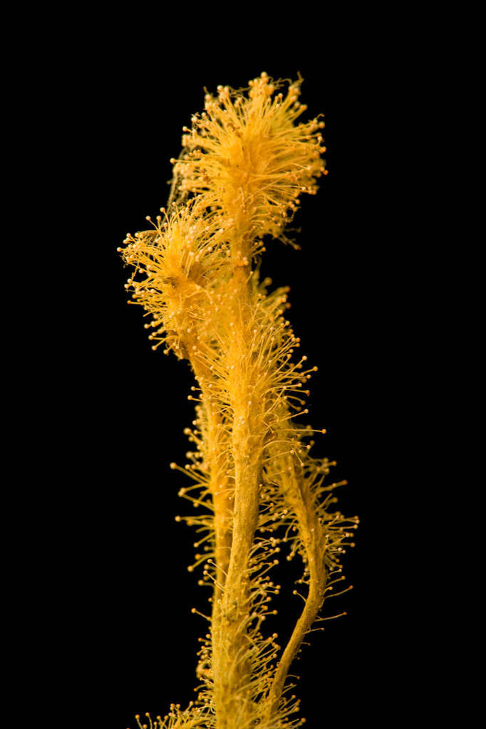 Photo: A studio portrait of a fungus from the rainforest floor on Bioko Island, Equitorial Guinea.