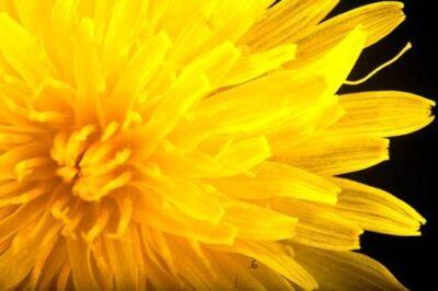 Photo: A dandelion (Taraxacum officinale).