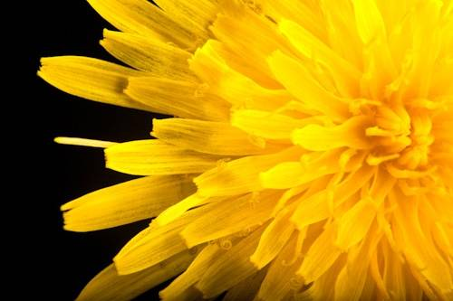 Photo: A dandelion (Taraxacum officinale).