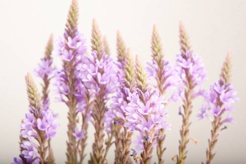 Photo: Salvia (Salvia divinorum).