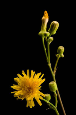 Photo: A studio portrait of a perennial sowthistle, Sonchus arvensis.