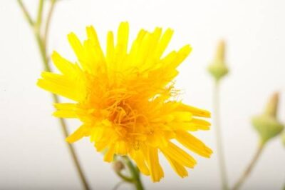 Photo: A perennial sowthistle (Sonchus arvensis).