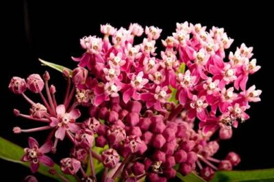Photo: A studio portrait of swamp milkweed (Asclepias incarnata).