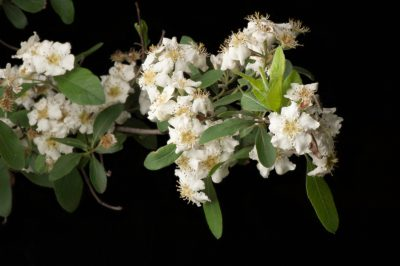Images of a blooming Stern's medlar bush (Mespilus canescens, one of the rarest plants in the U.S. This plant is now reduced to just 25 specimens in two locations. This one is located on the grounds of the Missouri Botanical Gardens.