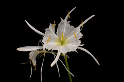 Photo: A rocky shoals spider lily (Hymenocallis coronaria) in Riverbanks Zoo in Columbia, SC. Many folks hope to get it listed federally someday.