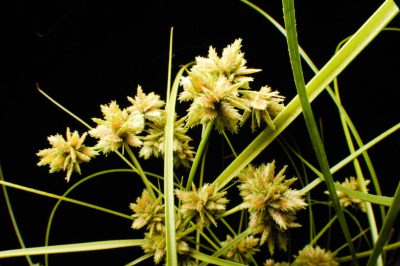 Photo: Pu`uka`a (Cyperus trachysanthos), a federally endangered plant species from Hawaii, at the U.S. Botanic Garden in Washington, DC.