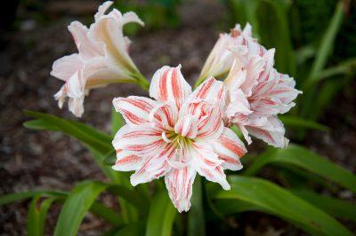 Photo: Three lilies