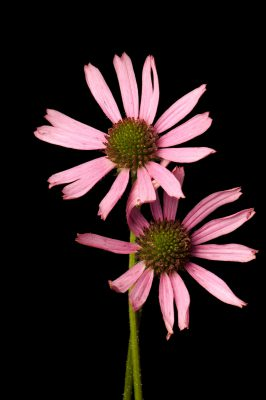 Photo: The Tennessee purple coneflower, Echinacea tennesseenisi.