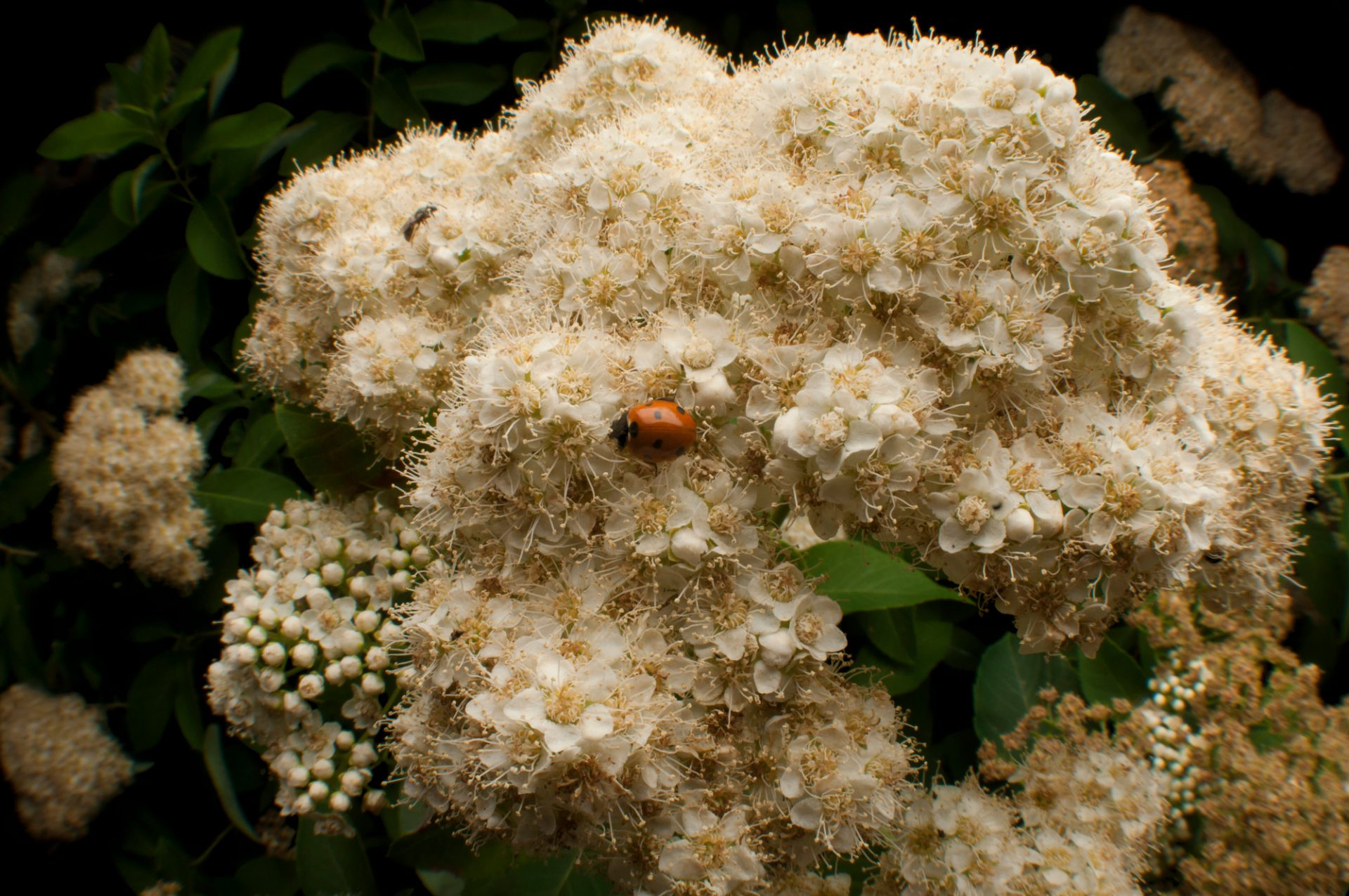 Photo: A federally threatened Virginia spiraea, Spiraea virginiana.