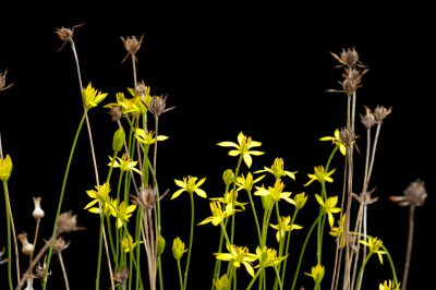 Photo: Harper's beauty (Harperocallis flava), a critically imperiled plant from Florida, at the U.S. Botanical Garden Production Facility in Washington, DC.