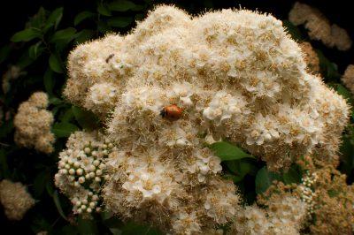Virginia spiraea (Spiraea virginiana) a federally threatened plant species, at the U.S. Botanic Garden in Washington, DC. On the flowers is a ladybug or ladybird beetle (Coccinellidae).