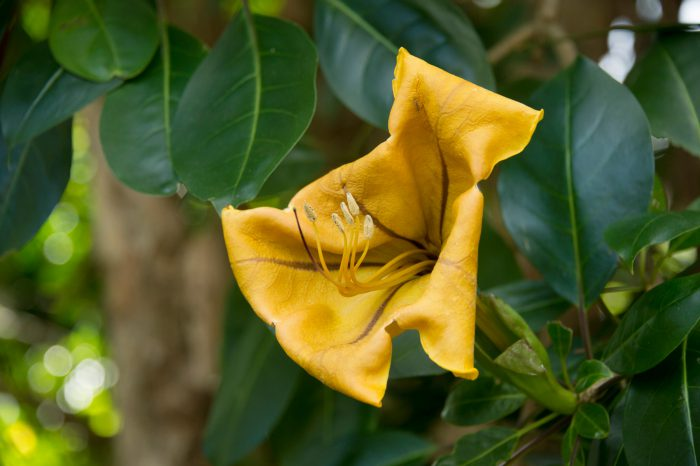 Photo: Golden chalice vine or 'cup of gold' flower (Solandra maxima) at the Taronga Zoo.