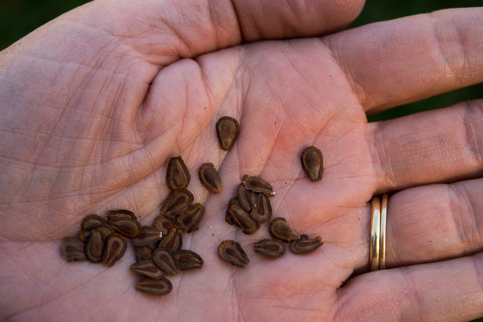 Photo: Several milkweed seeds in a woman's hand.