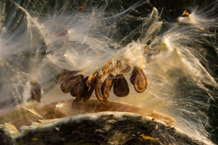 Photo: Wind transports milkweed seeds.