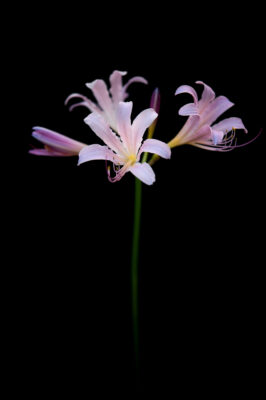 Photo: Surprise lilies, also known as naked ladies because of their long bare stem.
