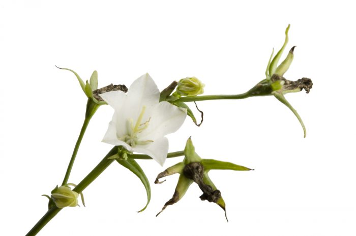 Photo: Peach-leaf bellflower (Campanula persicifolia alba) in Crosslake, Minnesota.