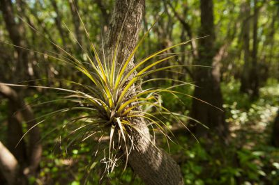 Photo: An example of an epiphyte plant at Kissimmee Prairie Preserve State Park.