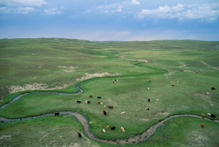Photo: Cows grazing in the Sandhills in Nebraska.