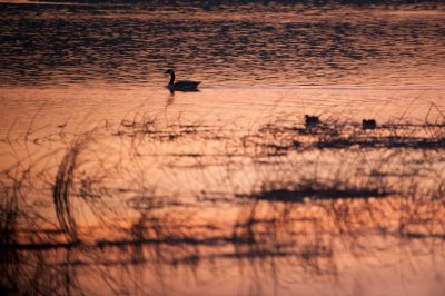 Photo: Waterfowl in a marsh on a ranch in the Nebraska Sandhills.