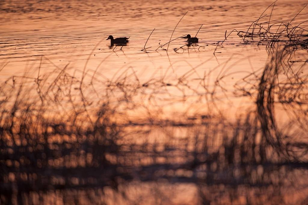 Photo: Waterfowl in a marsh on a ranch in the Nebraska Sandhills.