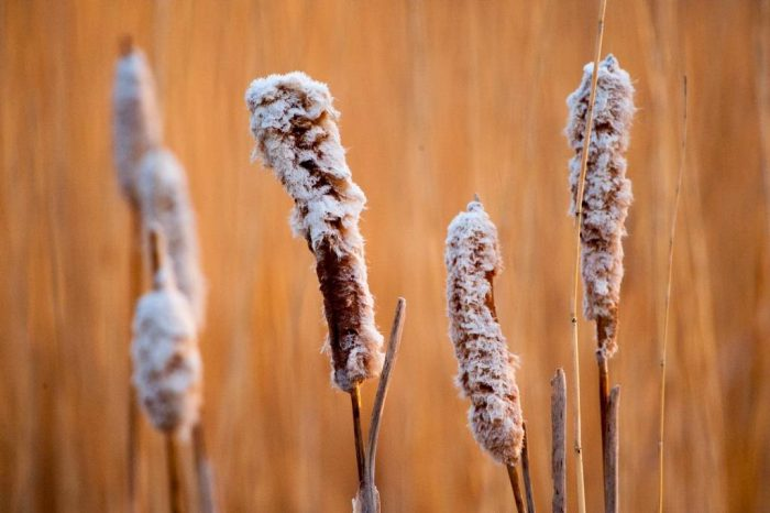 Photo: Cattails in a marsh on a ranch in the Nebraska Sandhills.