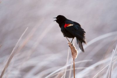 A red-winged blackbird (Agelaius phoeniceus) in a marsh on a ranch in the Nebraska Sandhills.