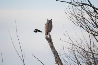 A great horned owl (Bubo virginianus) on a ranch in the Nebraska Sandhills.
