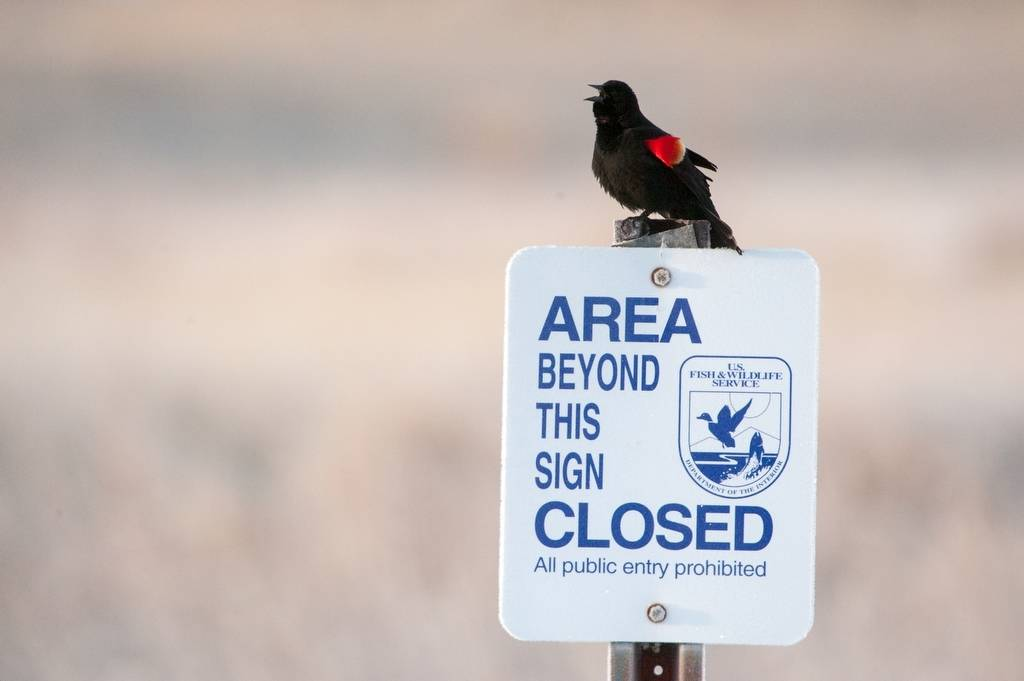 A red-winged blackbird (Agelaius phoeniceus) perched on a sign at a ranch in the Nebraska Sandhills.