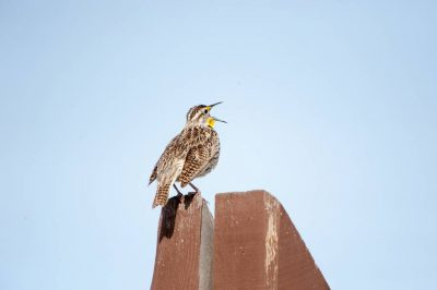 Photo: A perched western meadowlark (Sturnella neglecta) on a ranch in the Nebraska Sandhills.
