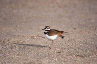 A killdeer (Charadrius vociferus) on a ranch in the Nebraska Sandhills.