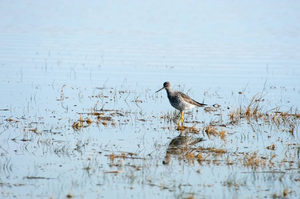 Photo: A lesser yellowleg (Tringa flavipes) on a ranch in the Nebraska Sandhills.