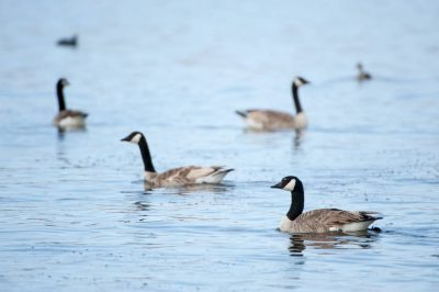 Photo: Canada geese (Branta canadensis) at Crescent Lake NWR in Nebraska.