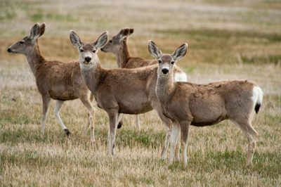 Photo: Mule deer (Odocoileus hemionus) near Crescent Lake National Wildife Refuge in Nebraska.