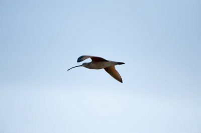 A long-billed curlew (Numenius americanus) flies overhead in the Nebraska Sandhills.