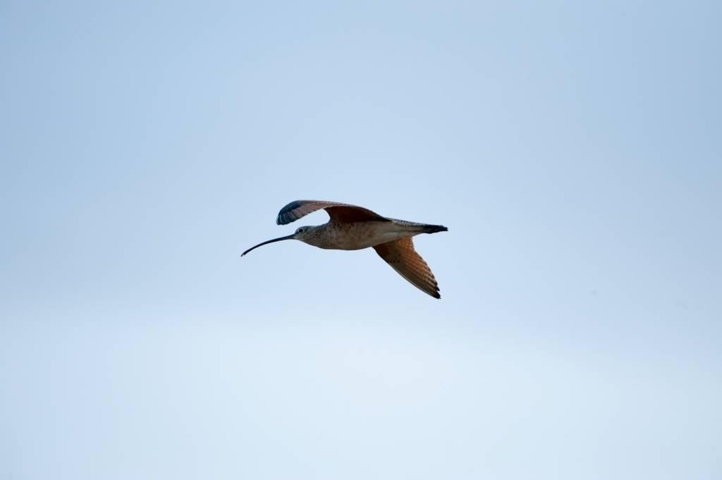 A long-billed curlew (Numenius americanus) flies overhead in the Nebraska Sandhills.